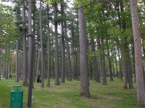 The mixture of white pines, red pines and oak at the NMC campus represent the forest of most of Traverse City before white settlement.