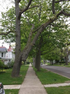 The white oak trail-marking tree on Washington St. near the Courthouse reflects the forest of 165 years ago.