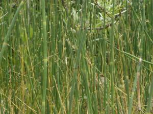 fidler-snakegrassforest