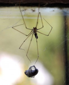 Cellar spider with prey. Image courtesy of Tom Blackwell through a Creative Commons license on Flickr.