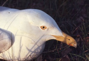 This gull politely sits, allowing us a good view of its eye color. The author is able to tell the age of gulls from afar, as their eye color changes as they age.