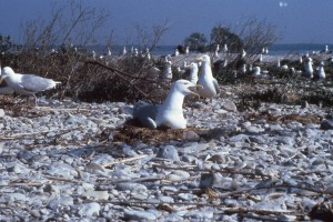The sole inhabitants of Bellows Island, also known as Gull Island, busily nesting.
