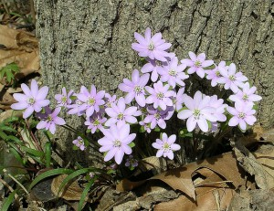 Sharp-lobed Hepatica, one of the earliest spring flowers, adored by Mourning Cloak's and people alike. Image courtesy of Jason Sturner, https://www.flickr.com/photos/50352333@N06/.