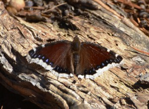 Mourning Cloak Butterfly, image courtesy Andy Reago and Chrissy McClarren, https://www.flickr.com/photos/wildreturn/.