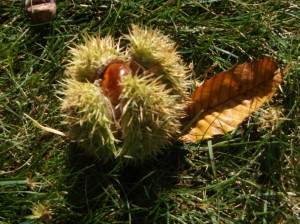European Chestnut bur, image courtesy of the author.