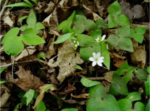Hepatica acutiloba, ca. 2003, image taken near Traverse City.
