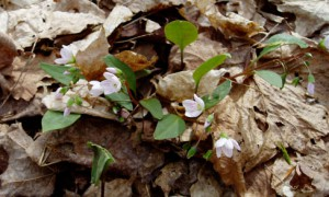 Claytonia virginica (Spring Beauty), image taken ca. 2003, near Traverse City. Image provided by the author.