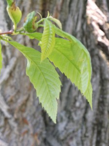 Immature leaves of the National Champion American Chestnut on Old Mission, 28 May 2015.