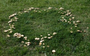 Image of Fairy Ring, composed of Marasmius oreades. Image courtesy of Steve Trudell, http://www.timberpress.com/author/steve_trudell/1457