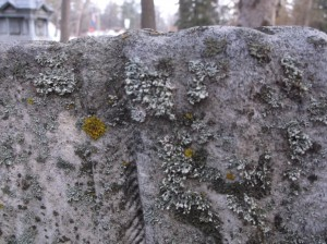 A variety of lichens, clinging to tombstones at Oakwood Cemetery, Traverse City. Image courtesy of the author.