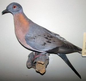 James St. John, Stuffed male passenger pigeon. From the Field Museum of Natural History collection.