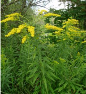 Goldenrod, image courtesy of the author, Fall 2016.
