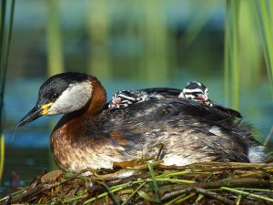 Red-necked Grebe with chicks. By Lukasz Lukasik (Own work) [GFDL (http://www.gnu.org/copyleft/fdl.html) or CC-BY-SA-3.0 (http://creativecommons.org/licenses/by-sa/3.0/)], via Wikimedia Commons. [Editor's note: Grebes are not found in Michigan. We just loved this photo.]