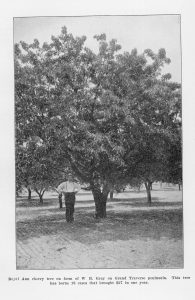 """Royal Ann cherry tree on farm of W.B. Gray on Grand Traverse Peninsula. This tree has borne 18 cases that brought in $27 in one year."" From ""Forty-Second Annual Report of the Secretary of the State Horticultural Society of Michigan for the Year 1912."""