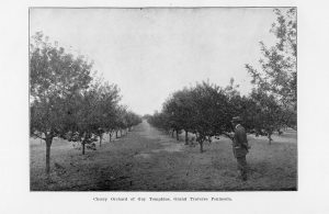 "Cherry Orchard of Guy Tompkins, Grand Traverse Peninsula. From ""Forty-Second Annual Report of the Secretary of the State Horticultural Society of Michigan for the Year 1912."""